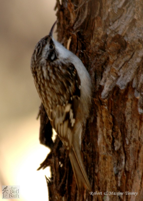 brown creeper coloring pages - photo#30