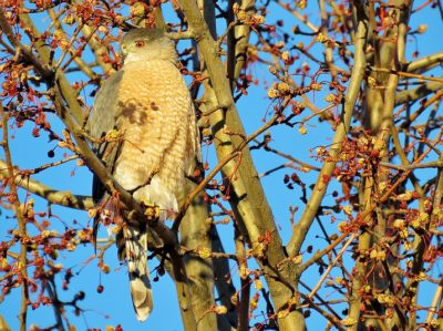 Cooper S Hawks Prey On Song Birds Jay S Bird Barn